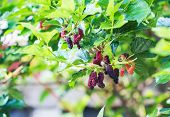 Ripe Mulberries On The Branch. poster
