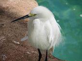 Beautiful Whtie Snowy Egret Bird Profile Iwth A Long Beak. poster