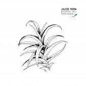 Hand Drawn Aloe Vera Bunch. Engraved Vector Illustration. Medical, Cosmetic Plant. Moisturizing Seru poster