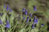 Flowers Muscari Armeniacum. It Is One Of A Number Of Species And Genera Known As Grape Hyacinth, In  poster
