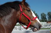 foto of clydesdale  - large Clydesdale horse in profile in his paddock  - JPG