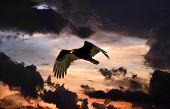 Turkey Vulture Soaring In A Menacing Sky At Sunset poster