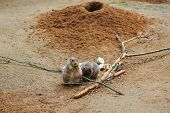 Meerkat Or Cape Ground Squirrel Or Gopher. Desert Mammal And Small Rodent And Wild Animal poster