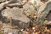 stock photo of timber rattlesnake  - A large timber rattlesnake is crawling over rocks near it - JPG