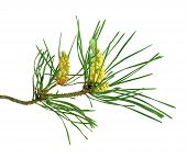 Green Lush Spruce Or Pine Branch. Fir Tree Branch Isolated On White Background   Without A Shadow  . poster