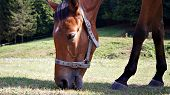 picture of blinders  - Race horse graze on green field, controlled by the electronic herd ** Note: Slight blurriness, best at smaller sizes - JPG