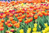 Tulip Flower. Beautiful Tulips Flower In Tulip Field At Winter Or Spring Day. Colorful Tulips Flower poster