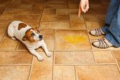 stock photo of linoleum  - Jack Russell Terrier lying beside it - JPG