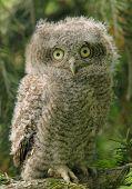 Screech Owl Owlet