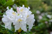 Big White Rhododendron Flower In Botany. Close-up poster