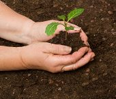 Tending Cabbage Seedling