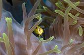 Juvenile anemone fish