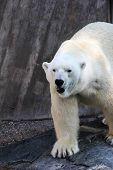 Gelo urso