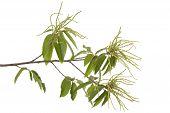 Branch Of Chestnut