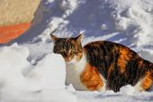 Dangerous Predator Walks Behind Wall Of Snow In Winter Times. Head Of Kitten With Green Eyes Runs An poster