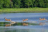 Tres ciervos asustado corriendo y saltando en el agua