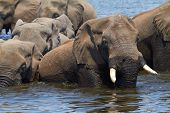 pic of veld  - A herd of African elephants  - JPG