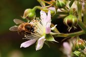 Honey Bee Collets Flower Nectar