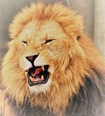 The Muzzle Of A Lion With Yellow Mane And Grin poster