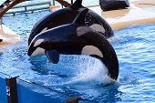Close Up Of Two Killer Whales (orcinus Orca) Jumping Out Of The Water During A Whale Show poster