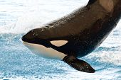 Close Up Portrait Of A Killer Whale (orcinus Orca) Jumping Out Of The Water At A Whale Show poster