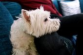 West Highland White Terrier Dog Enjoys Company Of His Owner Sitting On Couch Together And Petting Lo poster