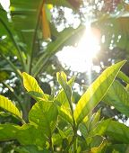 Guava Leaves With White Sunlight In The Morning, Flower Grass Beside The Road, Green Leaves Of Grass poster