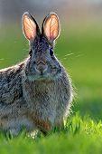 Este conejo (Sylvilagus floridanus)