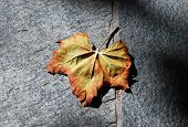 Autumn Leaf in Shadow