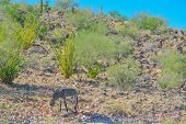 Wild Donkeys, At The Lake Pleasant Regional Park In The Sonora Desert. Saguaro Cactus (carnegiea Gig poster