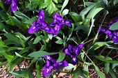 Beautiful Purple Irises Are Growing Among Green Grass In Shade