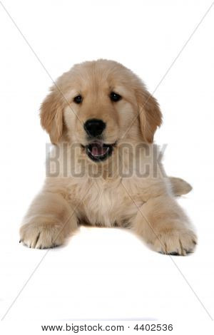 poster of Fluffy Tan Puppy On Its Belly On The Floor