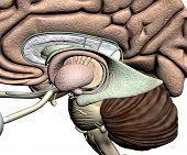 Brain parts - detail