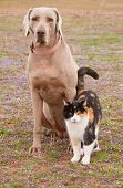 Weimaraner dog and a calico cat in spring grass - friends together