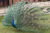 Peacock in Display