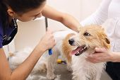 Jack Russell Terrier getting his hair cu