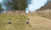 Two geese walking through nature in spring