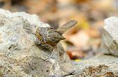 image of babbler  - beautiful Limestone Wren Babbler  - JPG