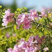 Asarina Erubescens. Escrofulariaceas Flowers
