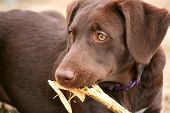 Puppy Eating a Corn Husk