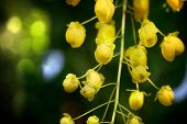 stock photo of cassia  - A row of Cassia Fistula or golden shower tree - JPG