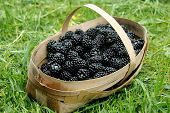 Blackberries in a basket