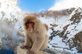 Curious Japanese snow monkey