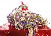 stock photo of hairy tongue  - maltese dog with party hat with white background - JPG