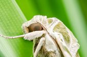 pic of hawk moth  - Moth in the nature on the environment concept