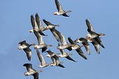 Greylag Geese (Anser anser) in flight