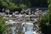 Flamingos At The Wild Animal Park