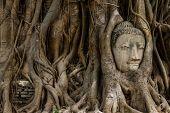 Buddha head statue and the banyan tree