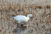 foto of snow goose  - white snow goose at sunrise feeding in shallow lake