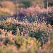 Field Of Flowering Purple Heather